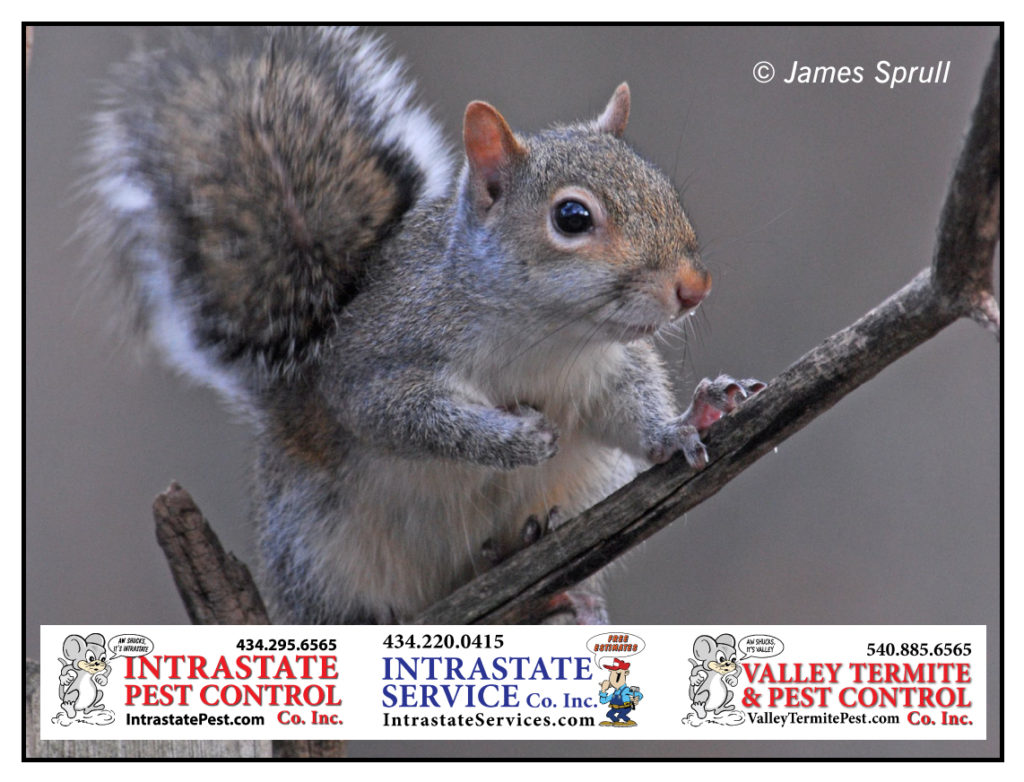 Keep Those Squirrels Out Of The Attic! - Valley Termite and Pest Co.