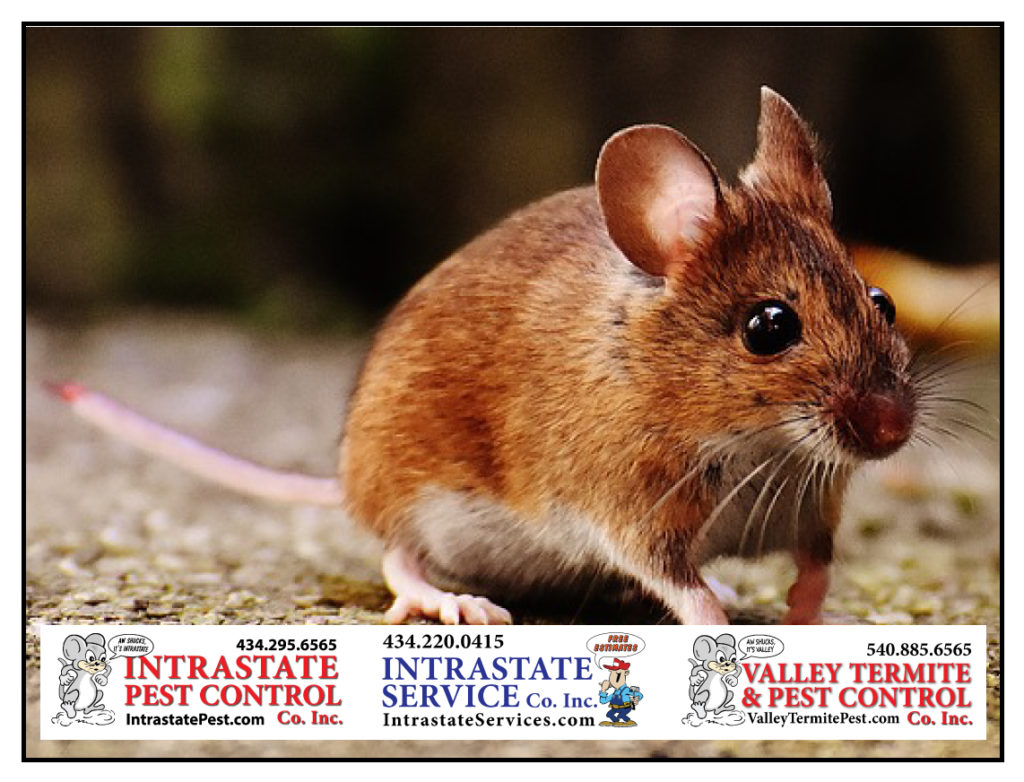 Mice Can Bring Disease To Your Home In Central Virginia ...